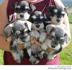Wish i could have all of these Schnauzers!