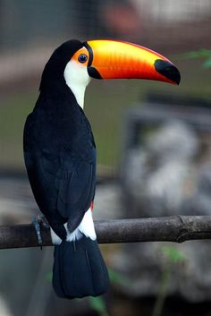 beautiful toucan at Bao Son Paradise Park in Hanoi, Vietnam.by Luong Thai Linh… Tropical Birds, Exotic Birds, Colorful Birds, Zoo Animals, Animals And Pets, Cute Animals, Nature Animals, Pretty Birds, Beautiful Birds