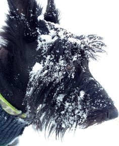 MacGregor Scottish Terrier Puppy Dogs Pups Puppies Dog Scottie #Snowdogs Scottish Terrier Puppy, Dog Shots, Dog Day Afternoon, Snow Dogs, Dogs Of The World, Dogs And Puppies, Doggies, Terrier Mix, Westies