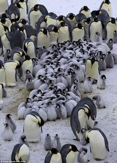 Emperor Penguin - parental devotion grown-up penguins The Animals, Baby Animals, Penguin Love, Cute Penguins, Penguin Baby, Penguin Craft, Beautiful Birds, Animals Beautiful, Wale