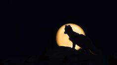 Arctic fox (Vulpes lagopus) in front of a full moon (Credit: Morten Hilmer)