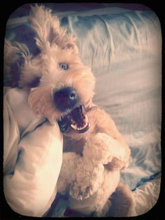 looks just like our Toby...Soft Coated Wheaten Terrier. Best personalities! <3