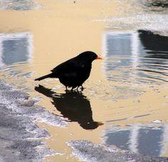 Farm Animals, Cute Animals, Blackbird Singing, Blackbirds, Backyard Birds, Bird Pictures, Colorful Birds, Wild Birds, Shades Of Black