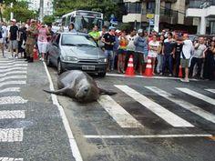 Leão-marinho atravessa Avenida Atlântica, em Balneário Camboriú - Globos