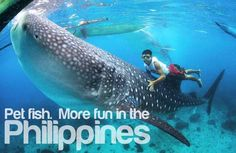 Yes you can swim with whale sharks in Oslob Cebu but it's not natural, so where can you have an ethical whale shark watching experience in the Philippines? Feed Do Travel went to Sogod Bay in Southern Leyte - the best place to see whale sharks. Cebu, Les Philippines, Philippines Travel, Swimming With Whale Sharks, Pet Fish, Fish Man, Megalodon, Wale, Puppies