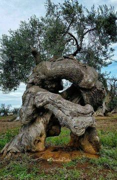 Ancient knarled, Olive tree?