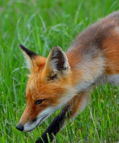 Red Fox by Andrene Myrum on Capture Minnesota