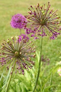 Auch im Verblühen noch Funken sprühend - Allium aflatunense 'Purple Sensation' http://gartensaison-gartentipps.blogspot.de/2013/05/allium-aflatunense-purple-sensation.html