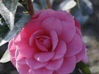 Image of Camellia japonica 'Spellbound'