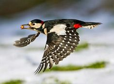 Greater Spotted Woodpecker in flight Spotted Woodpecker, Nature Animals, Natural World, Woodland, Garden Birds, Woodpeckers, Dracula, Amsterdam, Feathers
