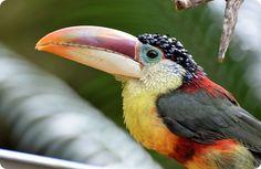Курчавый арасари (лат. Pteroglossus beauharnaesii)