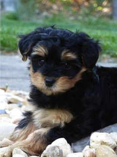 Yorkie Poo Information | information on yorkie poos i strive to provide all the information you ...