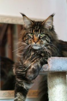 Brown Tabby Maine Coon. Can reach 24lbs in 3 years. Looks just like my Murray