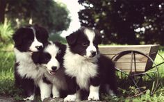Border collie puppies in France. elonearth.com