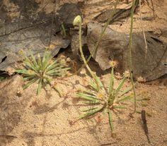 http://www.insektenfang.com/ipforum/topic/5761-carnivorous-plants-of-australia-northern-part-2/