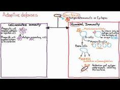 ▶ Immune responses: Adaptive Humoral vs. Cell-Mediated - YouTube