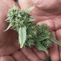 Grow marijuana. Learn how to grow cannabis.