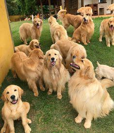 Golden Retriever reunion!