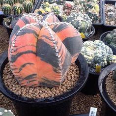 Astrophytum myriostigma variegata