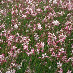 GAURA lindheimeri 'Rosyjane' ® : Touffes buissonnantes, élancées. Très longue floraison assurant une décoration prolongée. Culture en sol ordinaire. Feuillage vert foncé marqué de traces rougeâtres. Fleurs blanches bordées de rose vif ressemblant à des papillons.