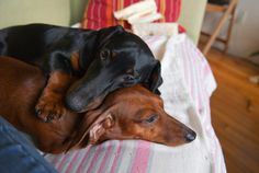 They are so beautiful!  Reminds me of my Mikey and Maggie who I miss all day while I work.  Red Boar and Black and Tan.