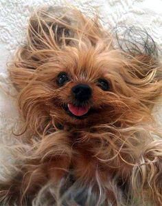 Yorkie with crazy hair! Yorkies, Yorkie Dogs, Baby Dogs, Pet Dogs, Dog Cat, Animals And Pets, Funny Animals, Cute Animals, Funny Dogs