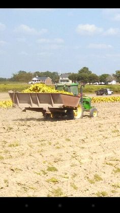 Tobacco harvest, tractor & dump buggy full of tobacco