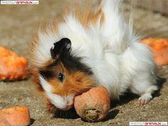Guinea pigs eat apples