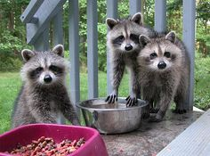 three raccoons having an afternoon snack of dog food.   What . . . We're raccoons?