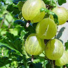 Ribes grossularia 'Hinnomaki Gold' - Groseillier à maquereau jaune - Groseiller uva-crispa
