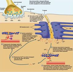 This photo shows an illustration of muscle contraction. The descriptions state the main details. Exercise Physiology, Musculoskeletal System, Muscular System, Human Anatomy And Physiology, Muscle Anatomy, Anatomy Study, Nursing Notes, Sports Medicine, Medical Science