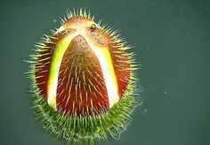 FLOWER BUD FROM A GIANT VICTORIA AMAZONICA LILY..........BING IMAGES.......