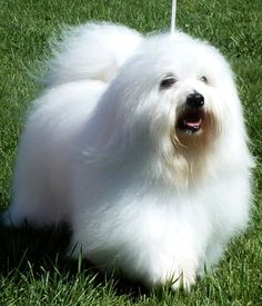 Coton De Tulear Dog Breed - Pictures, Information, Temperament, Characteristics Maltese Dogs, Dogs And Puppies, Teacup Maltese, Coton De Tulear Dogs, Hypoallergenic Dog Breed, Dog Breeds Pictures, Fluffy Dogs, Small Dog Breeds, Family Dogs