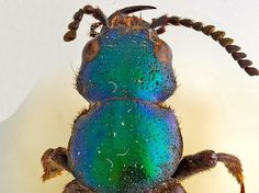 Happy 205th birthday Charles Darwin - this beetle was rediscovered named after Charles Darwin upon its publication on his birthday