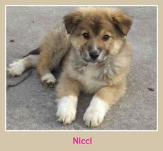 Meet Nicci, a Petfinder adoptable Great Pyrenees Dog | Elburn, IL | Meet Nicci!  DOB 1-11-15Hello!! Are you looking for an XL dog? Then let usintroduce you to Nicci....