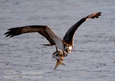 An Osprey plucked this fish from the water and then soared right at me before swooping into the air.