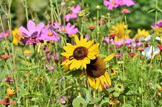 Tournesol : semis, plantation, entretien - Promesse de Fleurs Plants