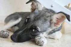 Arce - Schäferhund Mischling - ID-Ref. 481341