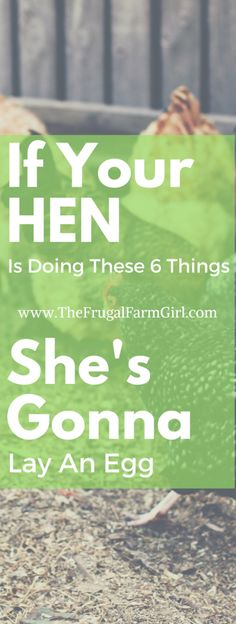 First time with chickens? When will they lay eggs? There are certain clues you can look for to indicate when your hens will start laying eggs.  via @frugalfarmgrl