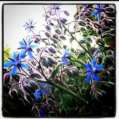BORAGE (seed/leaf/flower) Air/Jupiter - Courage & good judgment. Clear thoughts & knowledge. Peace & calm