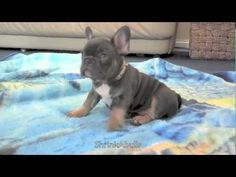 BLUE FRENCH BULLDOG PUPPY and Baby Lullaby
