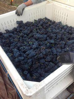 Adelsheim Vineyard #OregonWine