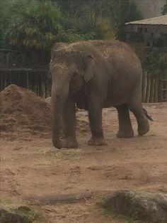 African elephant at Chester zoo, England