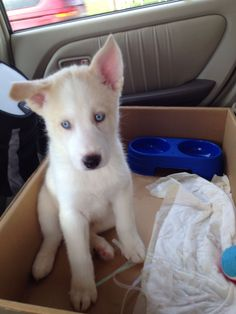 White Siberian husky puppy. Meet Reginald.