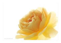Yellow Rose Close by Alyson Fennell on 500px #Flower #YellowRose #Rose #Floral #Roses