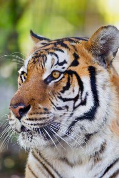 Tiger-2011-Steve-bigcats017