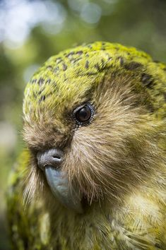 size: Photographic Print: Kakapo (Strigops Habroptilus) Close Up Showing Sensory Facial Feathers by Tui De Roy : Beautiful Birds, Animals Beautiful, Kakapo Parrot, Tui Bird, Animals And Pets, Cute Animals, Scenery Wallpaper, Cod Fish, Kiwiana