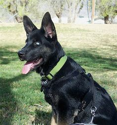 A blue-eyed black with tan Gerberian Shepsky is wearing a green collar sitting in a field and looking forward.