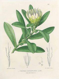 187544 Protea aurea (Burm.f.) Rourke var. mundii [as Protea longiflora Lam. var. mundii]  / Link, H.F., Otto, F., Klotzsch, F., Icones plantarum rariorum horti regii botanici Berolinensis (vol. 2), vol. 1: t. 22 (1841-1844) [C.F. Schmidt]