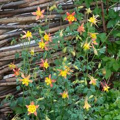 Aquilegia Tequila Sunrise - Border - By Location - Flowers Home Flowers, Cut Flowers, Seeds Online, Tequila Sunrise, Hardy Perennials, Sunflower Seeds, Early Spring, Dream Garden, Plants